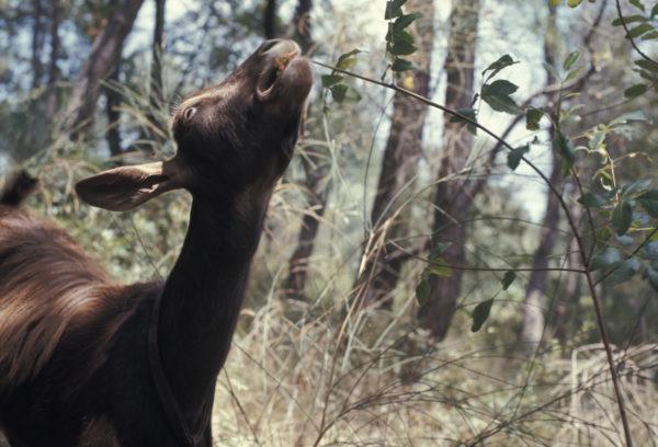 Hans Haacke, Goat Feeding In Woods, 1970 © Hans Haacke / VG Bild-Kunst, Bonn 2020